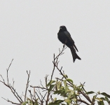 Swallow tail Drongo_1643