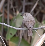 Swamp Flycatcher_2337
