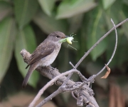 Swamp Flycatcher_2405