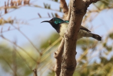 Variable Sunbird_1596