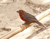Western Bluebill - female_1252