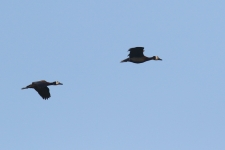 White faced Whistling Ducks_1538