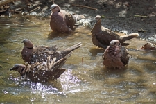 Wood doves bathing_3259