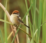 Woodchat Shrike_1427