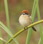 Woodchat Shrike_1430