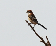 Woodchat Shrike_1533