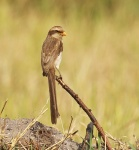 Yellow billed Shrike_1377