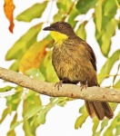 Yellow throated Leaflove_2272
