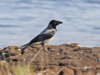 Hooded Crow - 4296