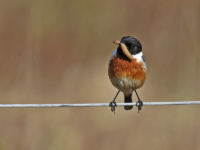 Stonechat with grub 4332