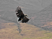White Tailed Sea Eagle with catch - 4522