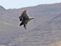 White Tailed Sea Eagle with catch - 4523