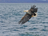 White Tailed Sea Eagle with fish - 4602