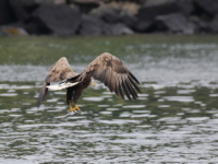 White Tailed Sea Eagle with fish - 5004