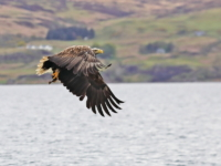 White Tailed Sea Eagle with fish - 5177