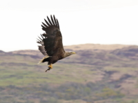 White Tailed Sea Eagle with fish - 5180